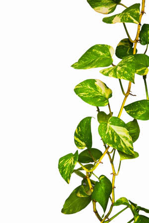 Green climber plant isolate on white background