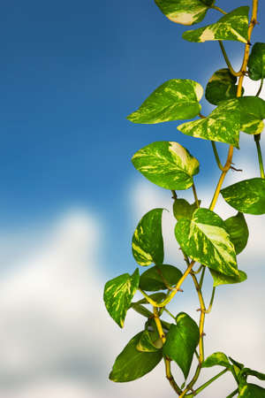 Green climber plant on cloud blue sky background Stock Photo - 9603220