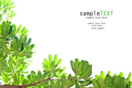 green leaves: Green leaves isolate on white