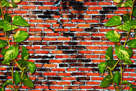 ivy wall: Climber plant on grunge brick wall