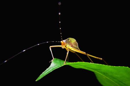 Little capricorn beetle standing on green leaf photo