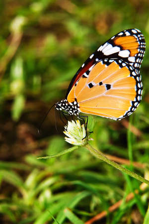 Beautiful orange butterfly climbing on white flower and green leaf photo
