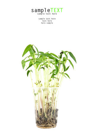 Bean sprouts tree growing in plastic glass Stock Photo - 9990505