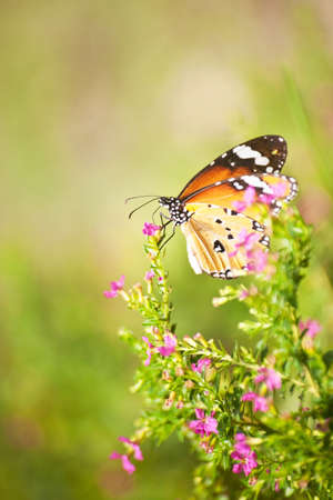 Closeup beautiful butterfly climb on pink flower Stock Photo
