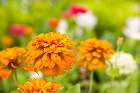 Orange gerbera flower in flower garden Stock Photo - 11216554