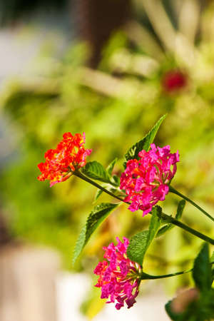 Colorful Hedge Flower, locate in the garden photo