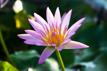 Pink lotus flower closeup photo