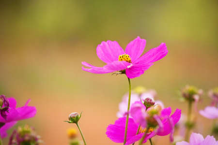 Closeup pink cosmos flower photo