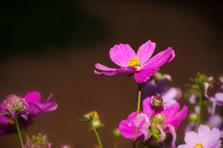 Closeup cosmos flower photo