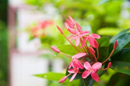 stamin: Pink ixora flower closeup Stock Photo