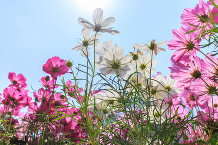 Beautiful pink and white daisy cosmos flower on blue sky background