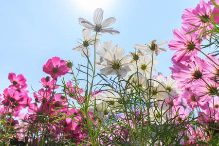 sol radiante: Hermoso cosmos margarita blanca rosa y flores sobre fondo azul cielo Foto de archivo
