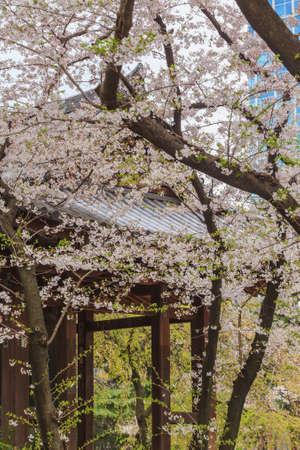 Shallow focus full bloom of sakura flower cherry blossom in Zojoji temple with Tokyo tower, Japan