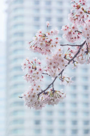 Pink sakura cherry blossom during spring season in Japan