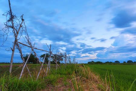 Beautiful landscape of tropical green rice paddy farm at sunset