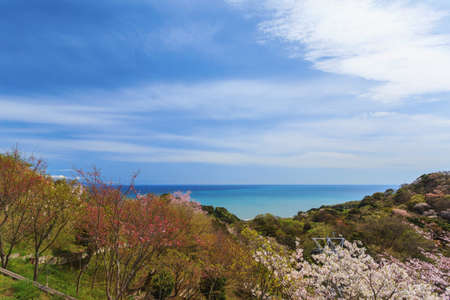 Landscape of cherry blossom view in spring season at Shizuoka prefecture, Japan