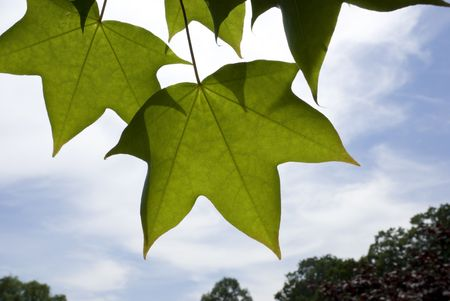 Five Pointed Leaves Stock Photo - 4564166