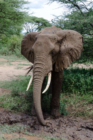 poaching: adult elephant cooling himself with mud in one of tanzania national parks Stock Photo