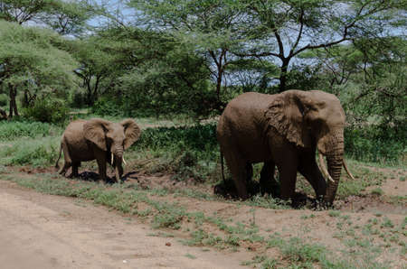 national parks: adult elephant with young cooling themself with mud in one of tanzania national parks