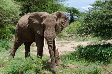 national parks: adult curious looking elephant in one of the Tanzania national parks