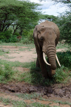 poaching: adult elephant approaching the mud in order to cool himself Stock Photo
