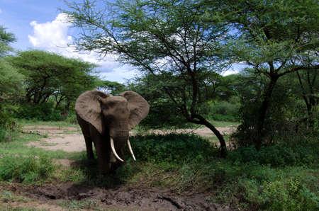 自身を冷却するために泥の中を近づいている大人のゾウ