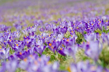 タトラ山脈の chocholowska バレーで咲くクロッカスのカーペット