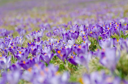 tatra: carpet of blooming crocuses in chocholowska valley in tatra mountains