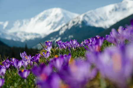 carpet of blooming crocuses in chocholowska valley in tatra mountains photo