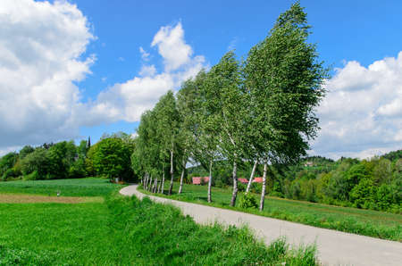 trees (birches) near narrow road leading to village photo