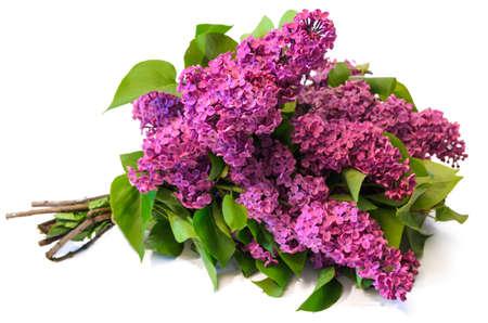purple common lilac (syringa) bouquet isolated on white background