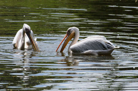 white pelicans in pond in zoo - stock photo photo