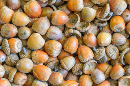 fagaceae: texture, background made of multiple acorns - stock photo