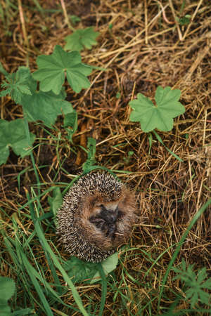 spiny: Hedgehog sitting in the grass Stock Photo