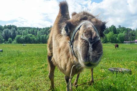 Camel walking in the field
