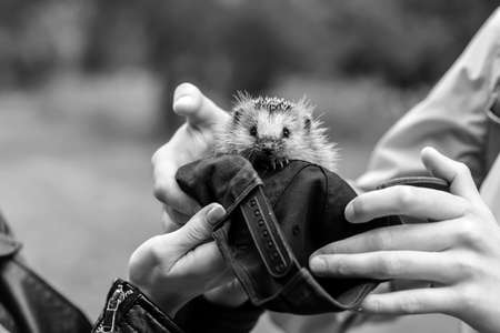 Hedgehog sitting in the hands black and white poster