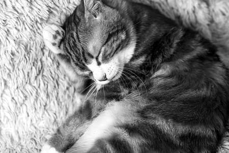 colorless: Cat lying on bed at home black and white poster