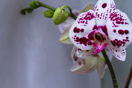 Beautiful Orchid flower on a window. Flower in the house. Decora Stock Photo