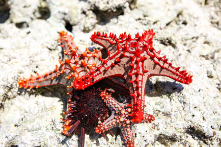Starfish in the lagoon on the southern beach on the ocean.  Banque d'images