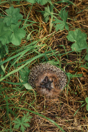 Hedgehog sitting in the grass Stock Photo