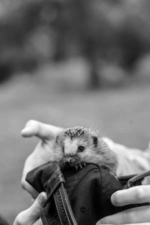 Hedgehog sitting in the hands