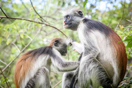 Monkeys in the natural habitat in the trees afternoon. Primates Imagens