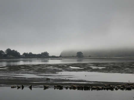 Misty Morning Gathering Of Sealions