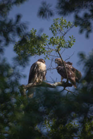 whining: Young Hawks left by their mom