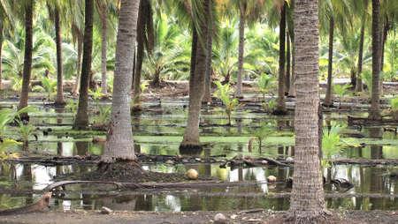 Stock Photo - Coconut farm