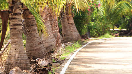bordered: Road bordered with coconuts trees