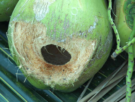 Young Green Coconuts Stock Photo