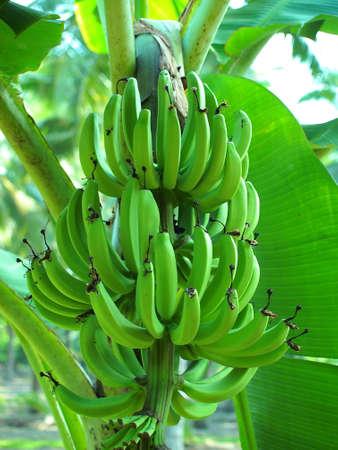 Young Green Banana Bunch