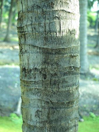Coconuts Tree trunk