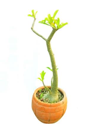 tree in Jardiniere isolate background     Stock Photo